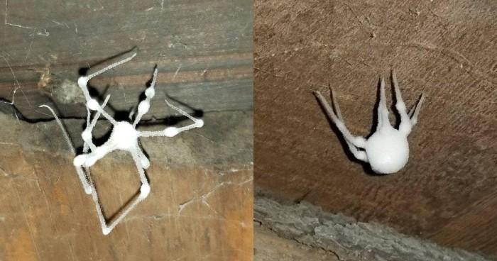 Pavouk, kterého infikovala housenice se stává reálným zombie