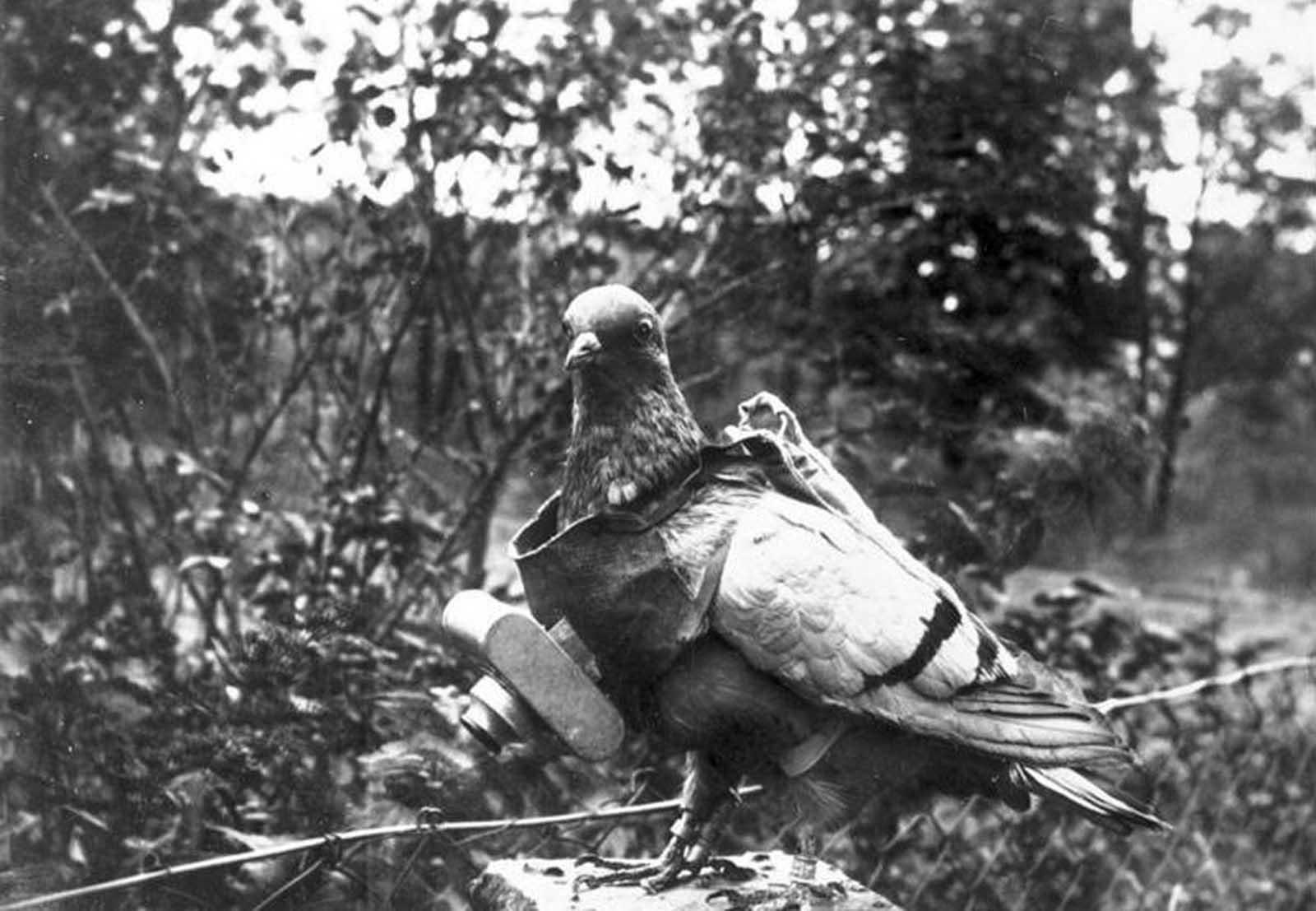 Holub s připojenou malou kamerou. Vycvičené ptáky experimentálně použil německý občan Julius Neubronner před válečnými lety a během nich a pořizoval letecké snímky, když mechanismus časovače cvakl spouští.